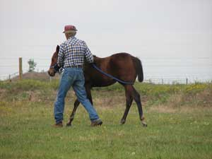 Larry halter breaking a Profit foal, it is so Easy!